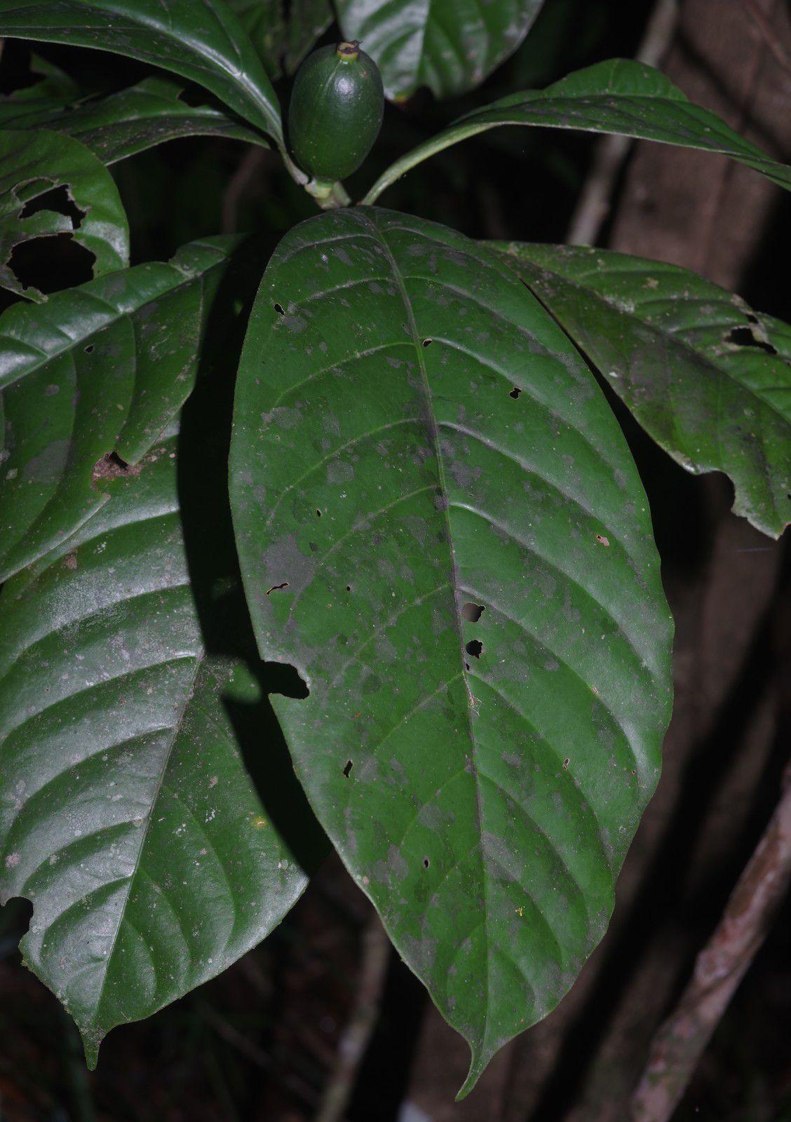 Kutchubaea surinamensis