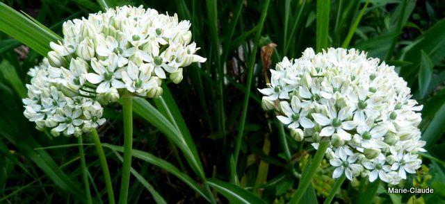 Je l'aime beaucoup pour sa couleur blanche, bien sûr mais surtout pour sa résistance, chez nous, il perdure bien plus longtemps que l'Allium pourpre