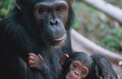 Chimpanzee Tracking In Uganda