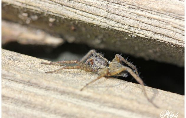 Araignée-loup : Pardosa (femelle)