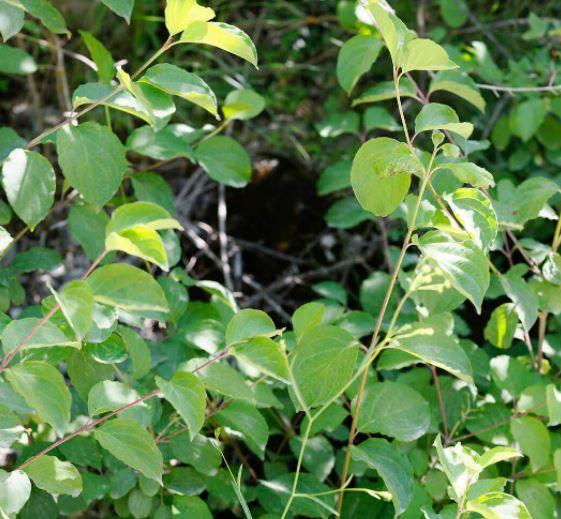 Colutea arborescens, feuilles et fruit