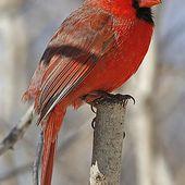 Cardinal rouge - Cardinalis cardinalis - Northern Cardinal