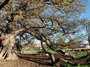 Chêne de St Maurice sur Dargoire