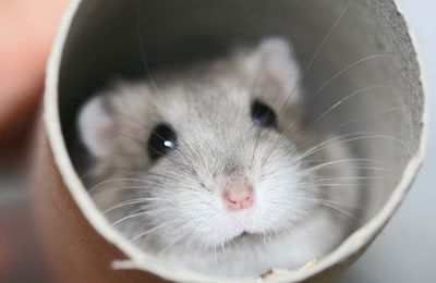 Animaux - Hamster - Cute - Photographie - Wallpaper - Free