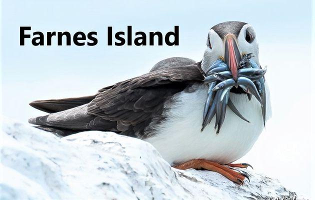 FARNES ISLANDS :  JOURNEE D'OBSERVATION ORNITHOLOGIQUE