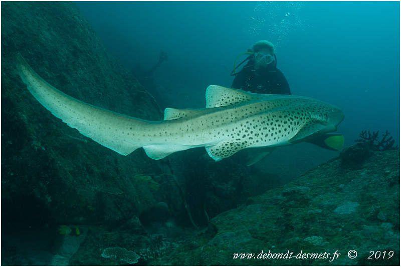 La nageoire caudale du requin-zèbre est presque aussi longue que son corps.
