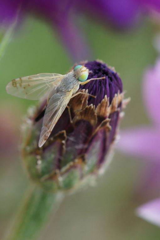 Téphritidae ou terellia femelle