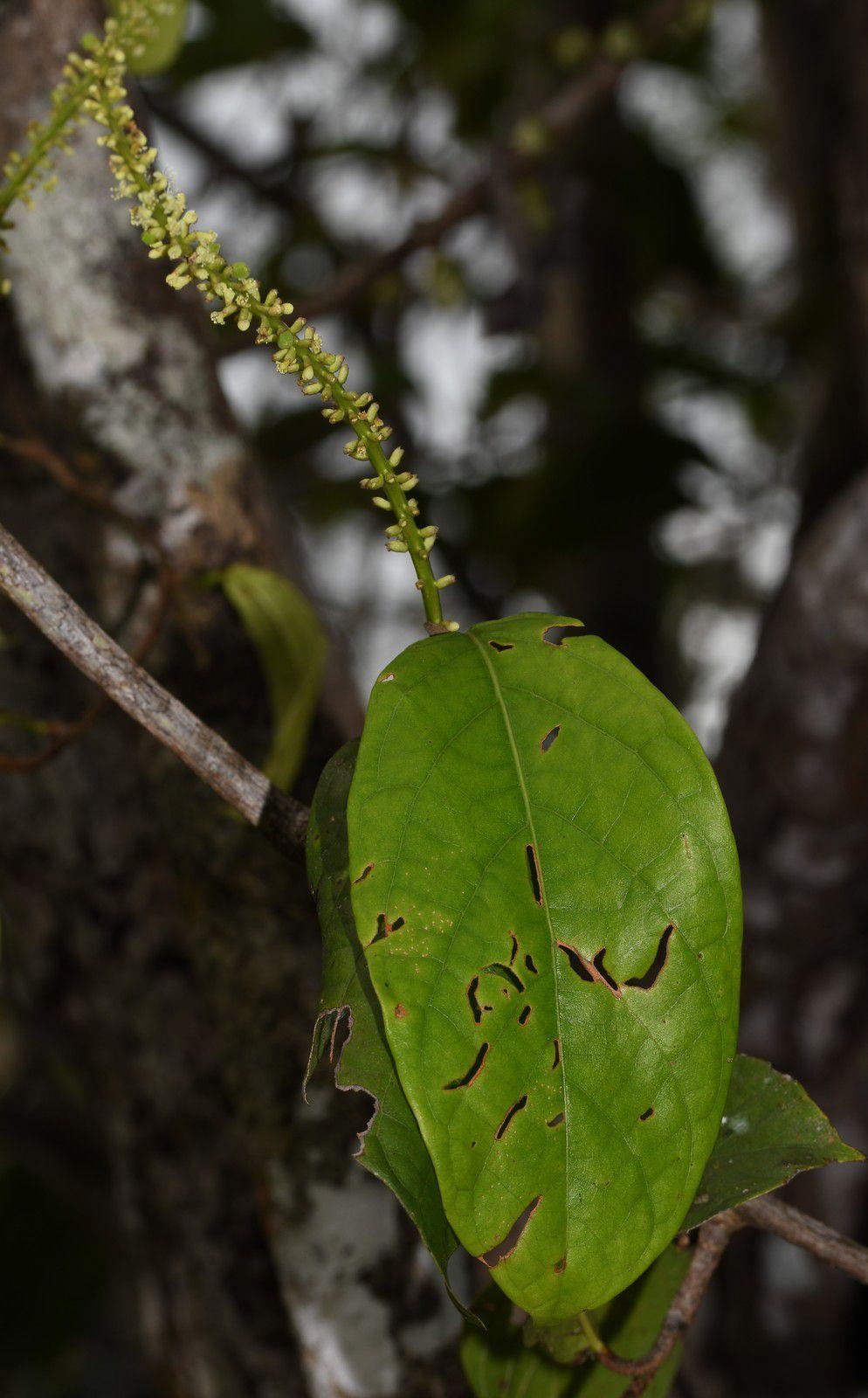 Coccoloba lucidula