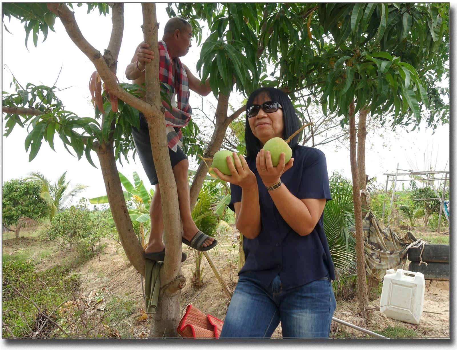 La cueillette des mangues (Thaïlande)