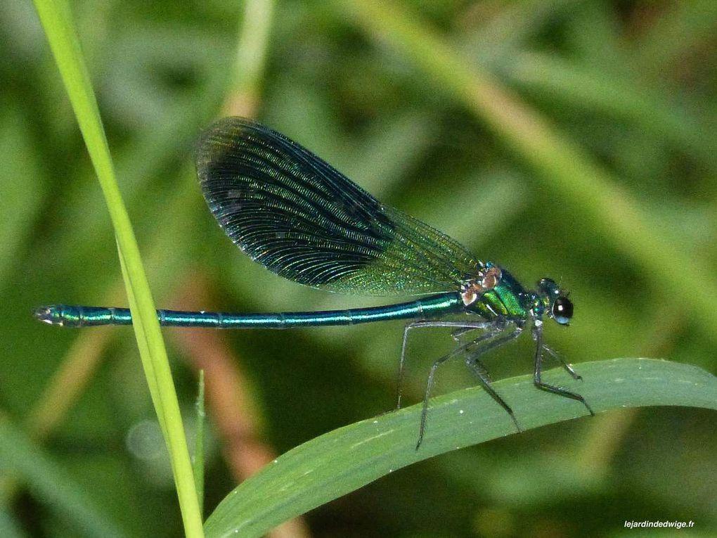 Caloptéryx splendens -  mâle