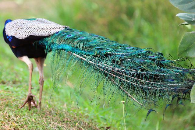 87 Oiseaux au Sri Lanka