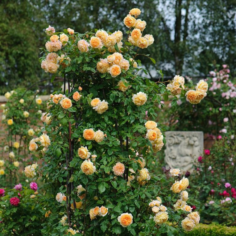 Crown Princess Margareta ( grimpant )