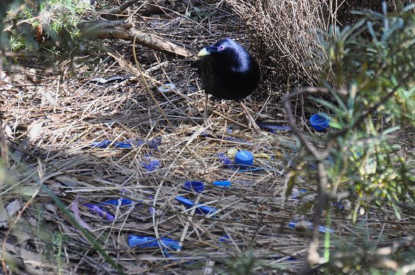 Like all bowerbirds, the satin bowerbird shows highly complex courtship behaviour. Mate choice in satin bowerbirds has been studied in detail by a group of researchers at the University of Maryland, College Park.[6]