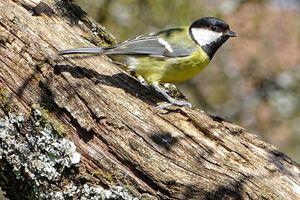 Chants d'oiseaux, leçon 13