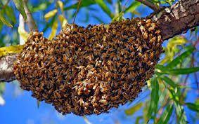 Essaimage des abeilles