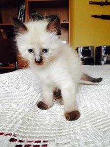 Kiwi, chaton femelle, à l'adoption -> adoptée