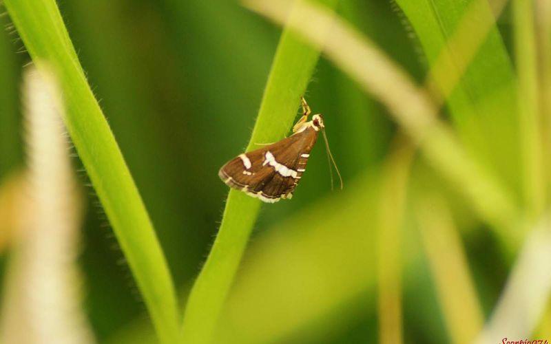 Le papillon Pyrale de la betterave (Spoladea recurvalis (Fabricius, 1775)).