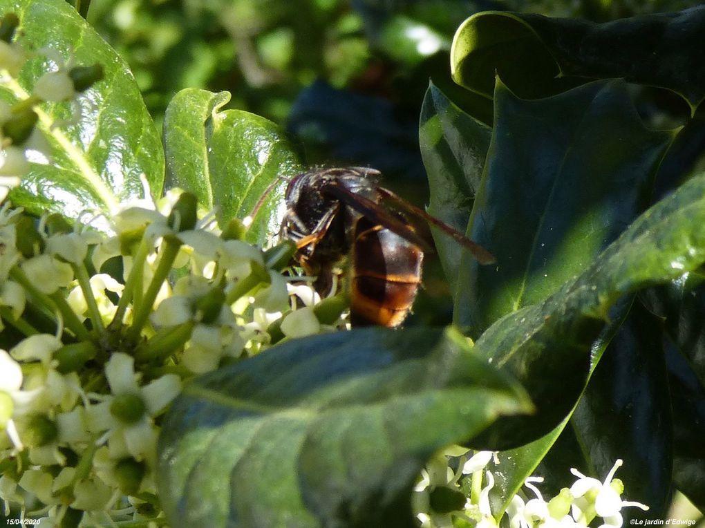 Une abeille capturée par un frelon