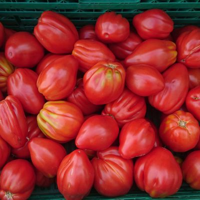 La Tomate Cabosse : la tomate à forme de cacaoyer !