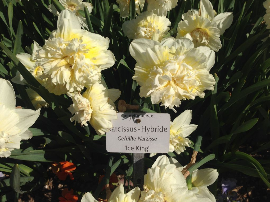 Tulipes 'Weber's Parrot', Narcisses 'Ice King' (2 photos)