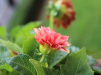 Le dahlia est originaire des régions chaudes du Mexique, d'Amérique centrale ainsi que de la Colombie. Les Aztèques l'appelaient Cocoxochitl (traduit approximativement en « canne d'eau » en raison de sa tige creuse) et utilisaient quotidiennement ses feuilles, pourtant amères, et leurs tubercules pour nourrir leurs animaux mais aussi pour leurs supposées vertus diurétiques ou anti-épileptiques. Ainsi que le décrit en 1570 Francisco Hernández, les Aztèques le cultivent aussi comme plante ornementale1. Il est introduit en France en 1802 par le docteur Thibaud, botaniste lui-même en poste à l'ambassade de Madrid où son tubercule est préconisé comme féculent (au goût d'artichaut mais plus âcre et fibreux) pouvant remplacer la pomme de terre. Mais ses vertus alimentaires sont rapidement supplantées par ses valeurs décoratives lorsque les doubles fleurs de dahlia sont hybridées à partir de 1806 et que des espèces de Dahlias Cactus (issus de Dahlia juarezii appelé « Étoile du Diable » ou « Corne du Diable » aux fleurs aux ligules longues, effilées et contournées), sont importés du Mexique vers la Hollande en 1872 puis en France en 18762.  Les dahlias sont des plantes à tubercule qui se déclinent en différentes formes de fleurs, couleurs et tailles.