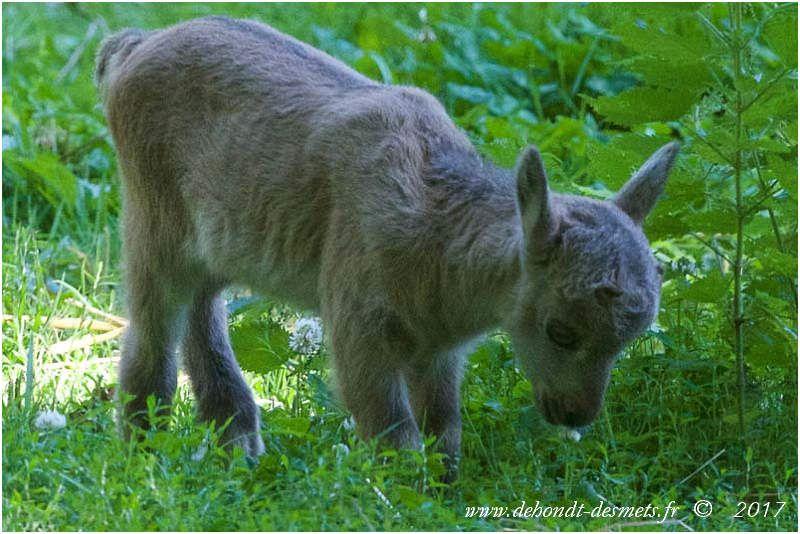 Le cabri est le jeune bouquetin de moins d'un an .On remarque le bout de ses cornes qui commence à pointer.