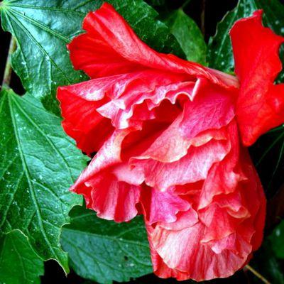 Rouge : hibiscus, cognassier du Japon ...