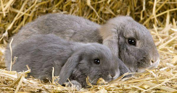 Acheter un lapin nain
