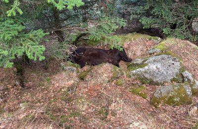 Pyrénées : mort de l'ours Cachou, interpellation d'un agent de l'environnement du Conseil général d'Aran
