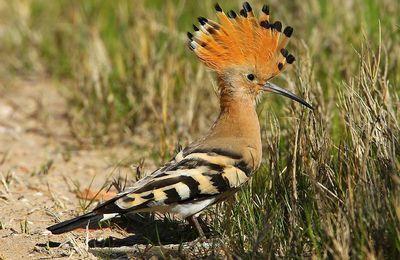 La Huppe (Ičibib), l'oiseau de Salomon.