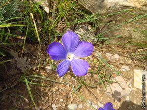 Bugrane, lin bleu, germandrée petit-chêne, et Inule des montagnes