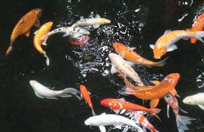 Things To Know Before Choosing a Koi Fish For Sale