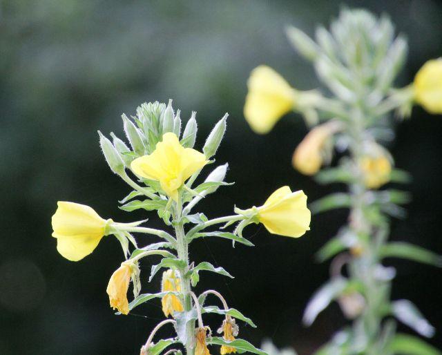 Les fleurs du Puy du Fou