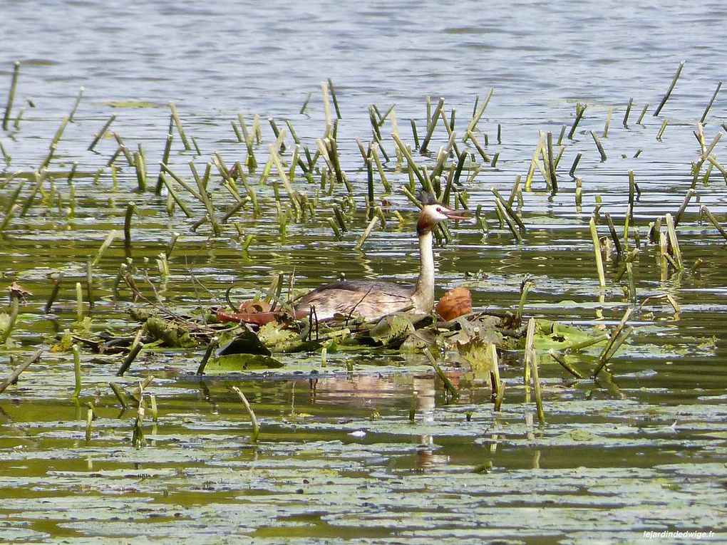 Grèbe huppé sur le nid en avril et en septembre.