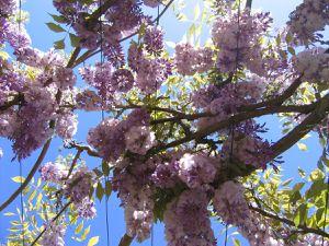 Une immense allée de glycines à voir en mai-juin au Parc Floral d'Apremont (Allier). Photos www.apremont-sur-allier.com