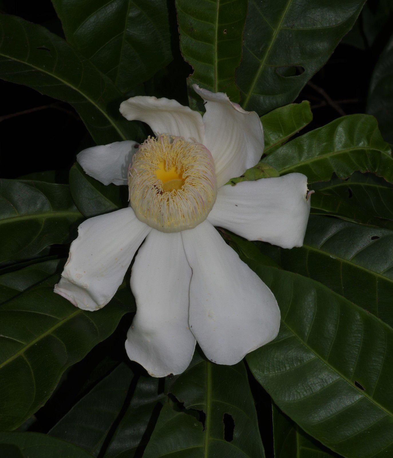 Gustavia augusta (bois pian)