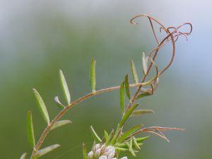 Vicia hirsuta devenue actuellement Ervilia hirsuta, vesce hérissée