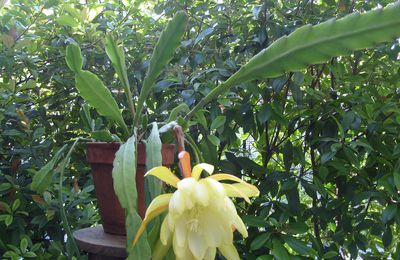 Epiphyllum X Golden Octopus