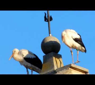 Les cigognes ont fait une pause à Malras le 9 octobre 2016(le film)