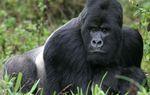 Maux de ventre et toux; des gorilles testés positifs au covid-19