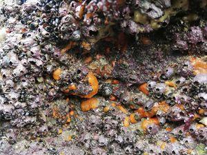 D'autres espèces animales beaucoup plus évoluées partagent le même habitat que ces Éponges : en forme de petits volcans, les Grandes Balanes (Balanus perforatus). Ces crustacés cirripèdes vivent fixés aux parois des rochers et sont la proie de prédateurs rampants : les Pourpres (Nucella lapillus), souvent en petits groupes et pondant leurs progénitures dans des petites urnes. Et tant qu'à faire juste à côté de leur garde-manger !!!