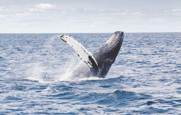 Ozeane - Buckelwale haben sich auf 93% ihrer Vorjagdzahl erholt