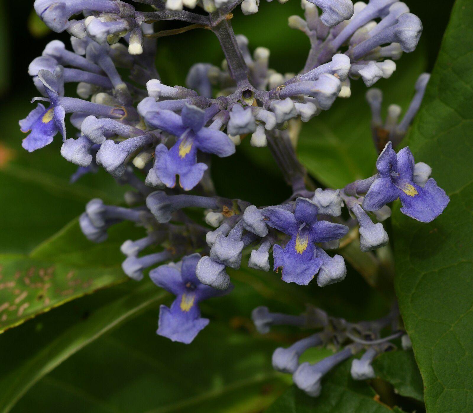 Cornutia pubescens
