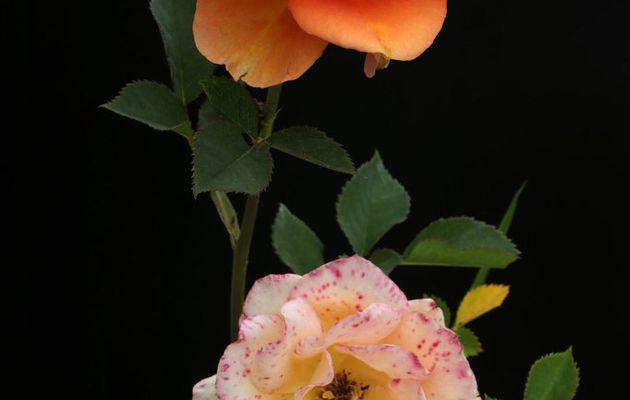Rose hybride _71