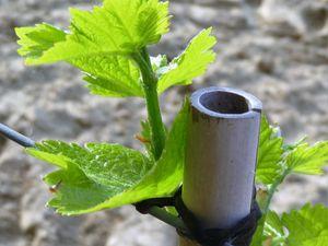 Les jeunes pousses encore fragiles des vignes