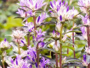 image www.grandiflora.fr et www.blomsbulbs.com