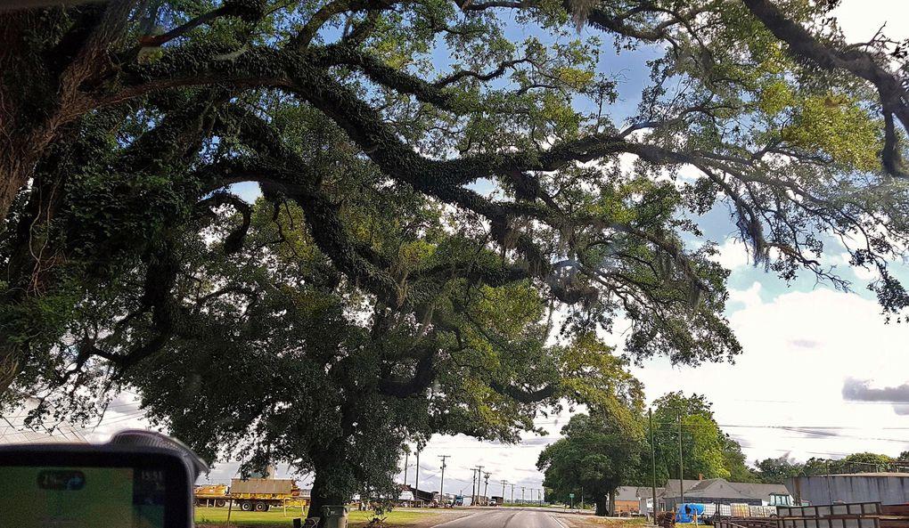 pays cajun : Chênes de Virginie