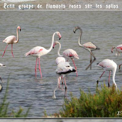 Flamants roses aux Salins de la Palme...