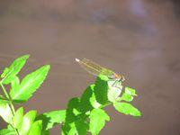 De la petite faune le long de l'eau du Mulhwasser 02/08/2015