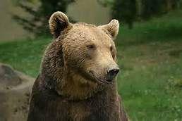 Les dépopulationnistes volent au secours des ours dans les Pyrénées